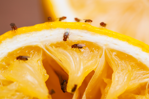 ter-insects-fruit-fly-article-1